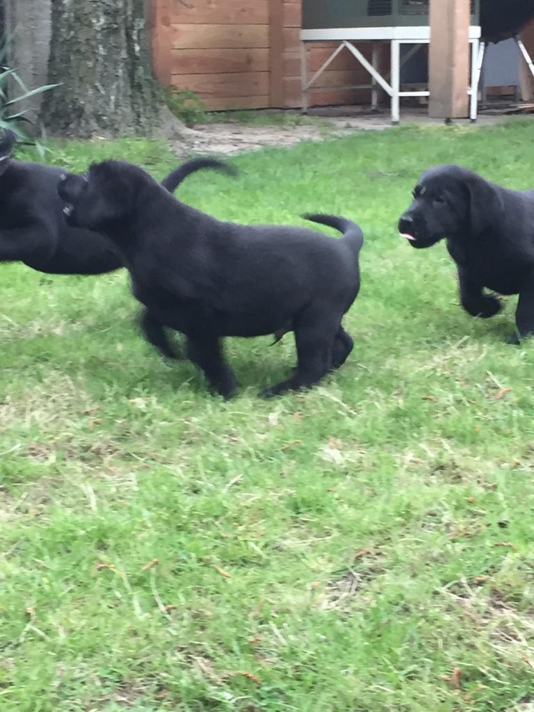 Pups Cheynne 8 weken oud