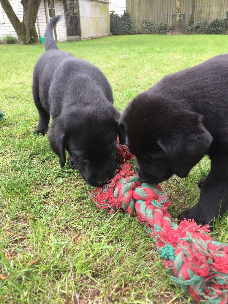 Pups Cheyenne 8 weken oud