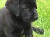 Pup Cheyenne 8 weken oud
