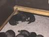 Pups Cheyenne 3 weken oud